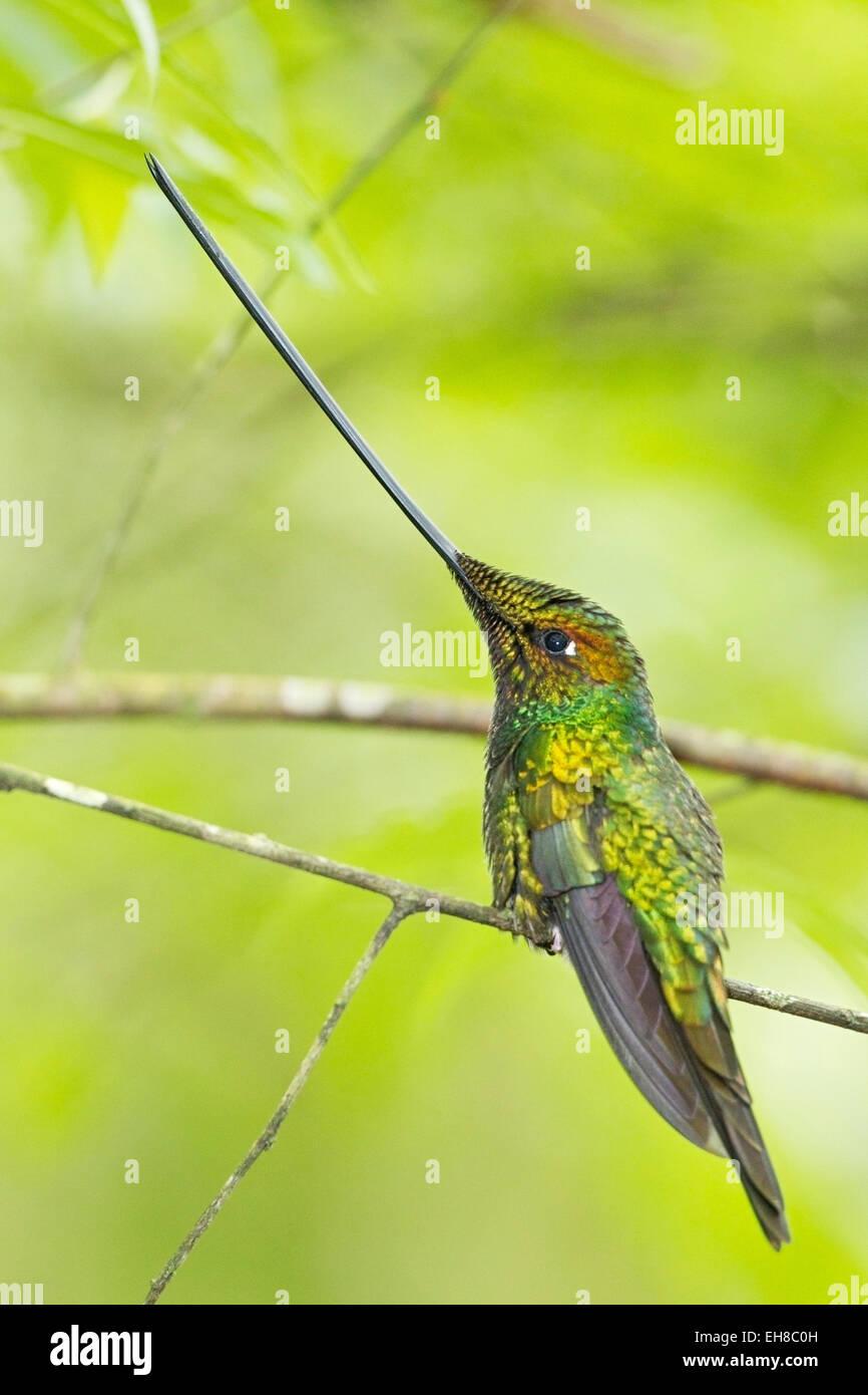 Ssword-billed hummingbird (Ensifera ensifera) adult male perched on twig in rainforest - Stock Image