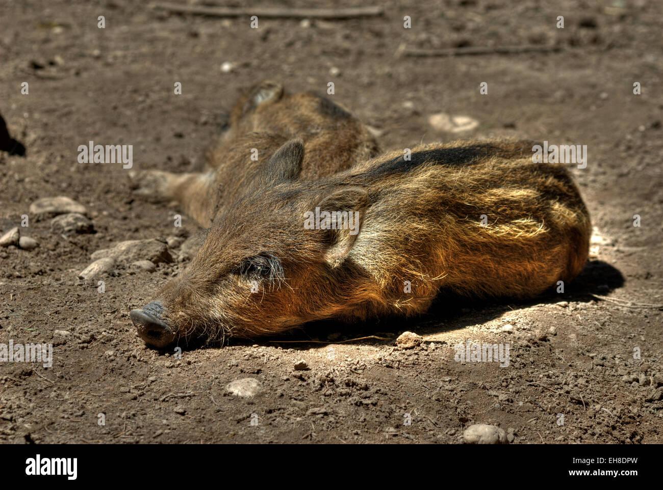 Wild boar (Sus scrofa) piglets sleeping in a dried mud wallow. - Stock Image