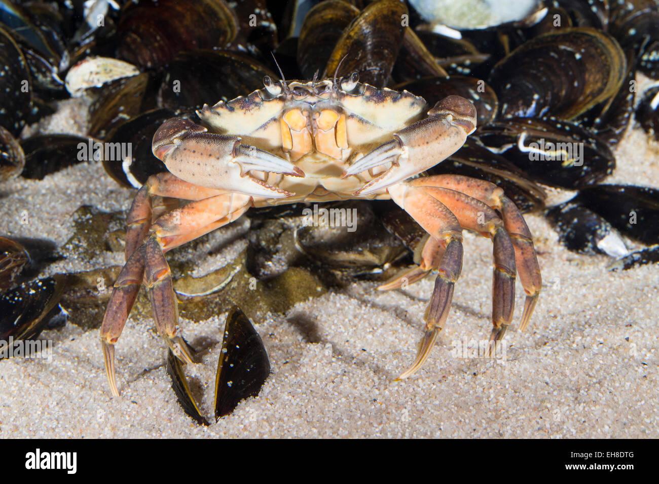 European shore crab, shore-crab, harbour crab, European green crab, Strandkrabbe, Strand-Krabbe, Carcinus maenas, - Stock Image