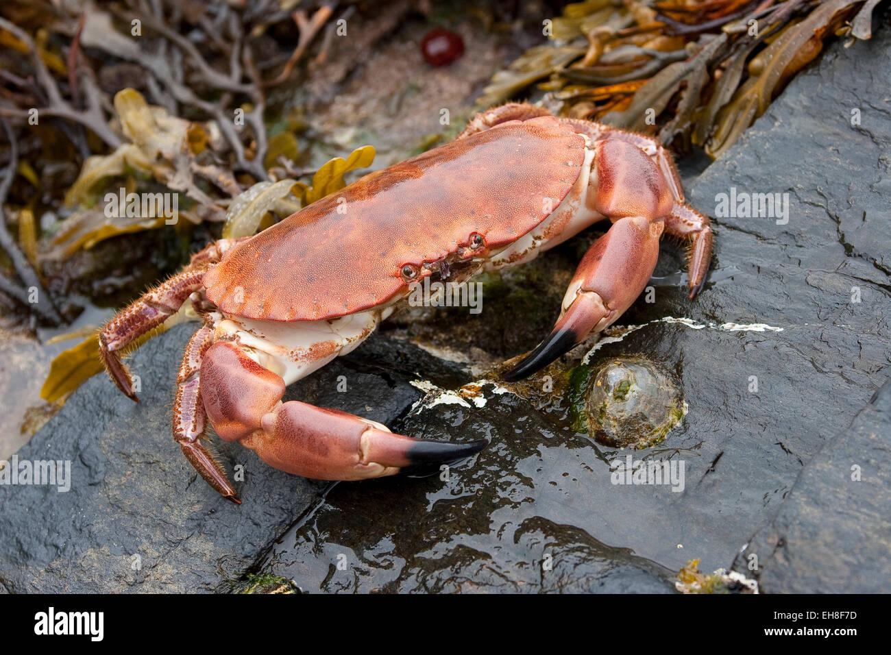 European edible crab, brown crab, Taschenkrebs, Taschen-Krebs, Cancer Stock Photo: 79478209