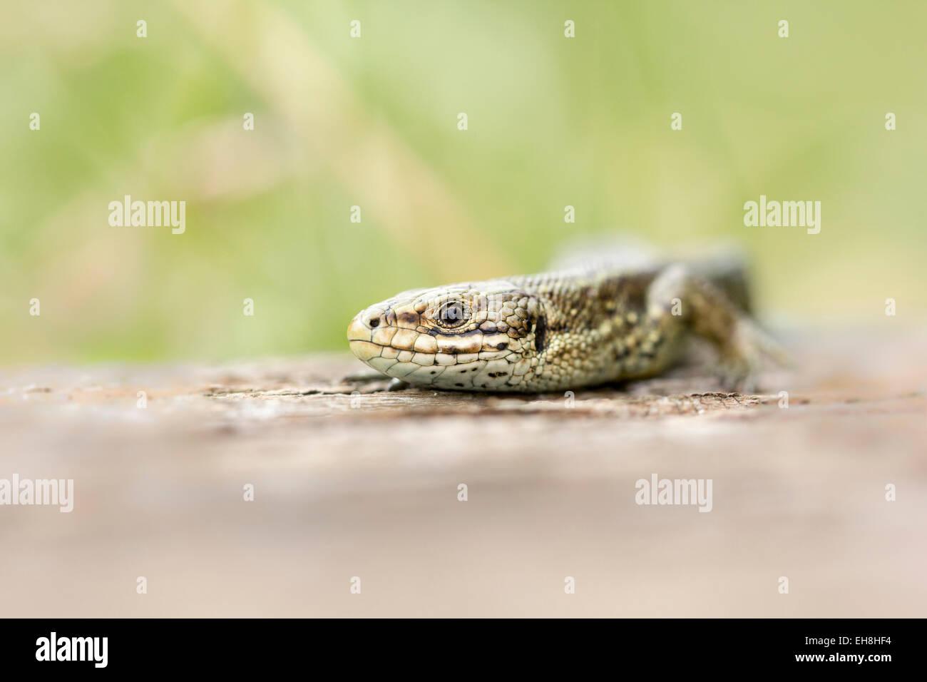 Zootoca vivipara lizard basking in the sun. - Stock Image