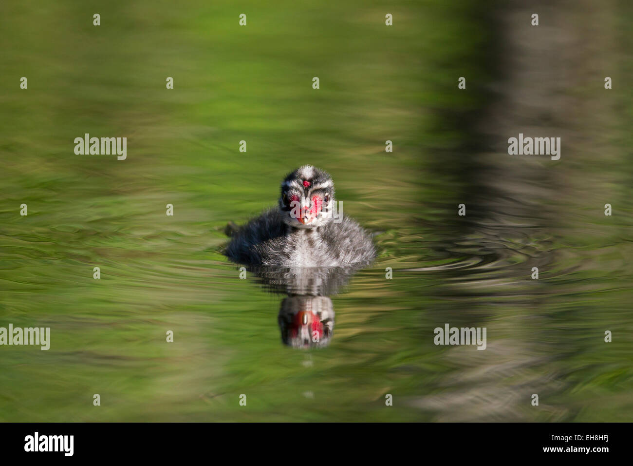 Horned grebe (Podiceps auritus) chick swimming in lake - Stock Image