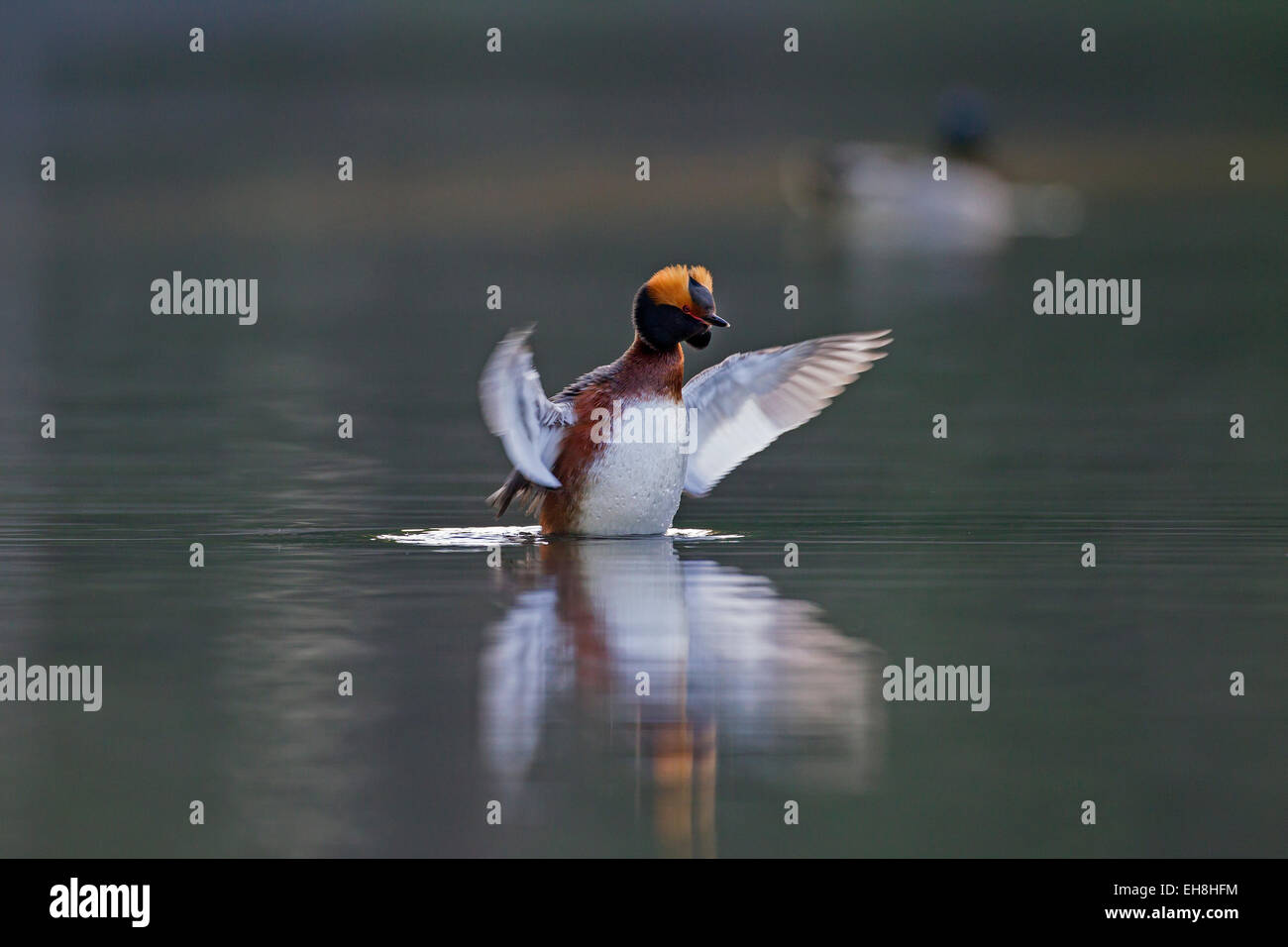 Horned grebe (Podiceps auritus) in breeding plumage flapping wings on lake - Stock Image