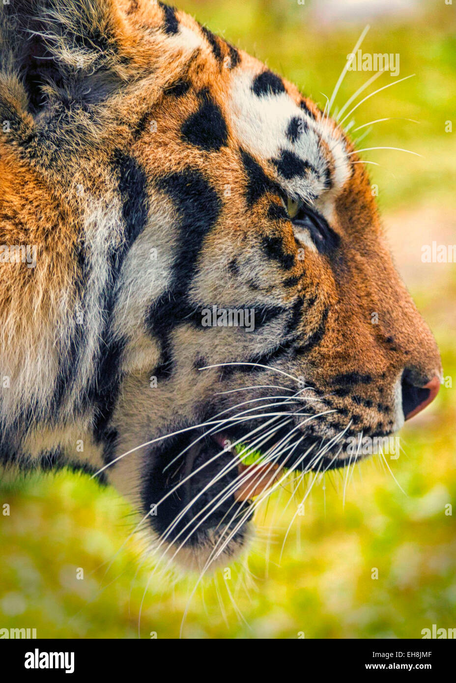close up of tigers face in profile stock photo 79480927 alamy
