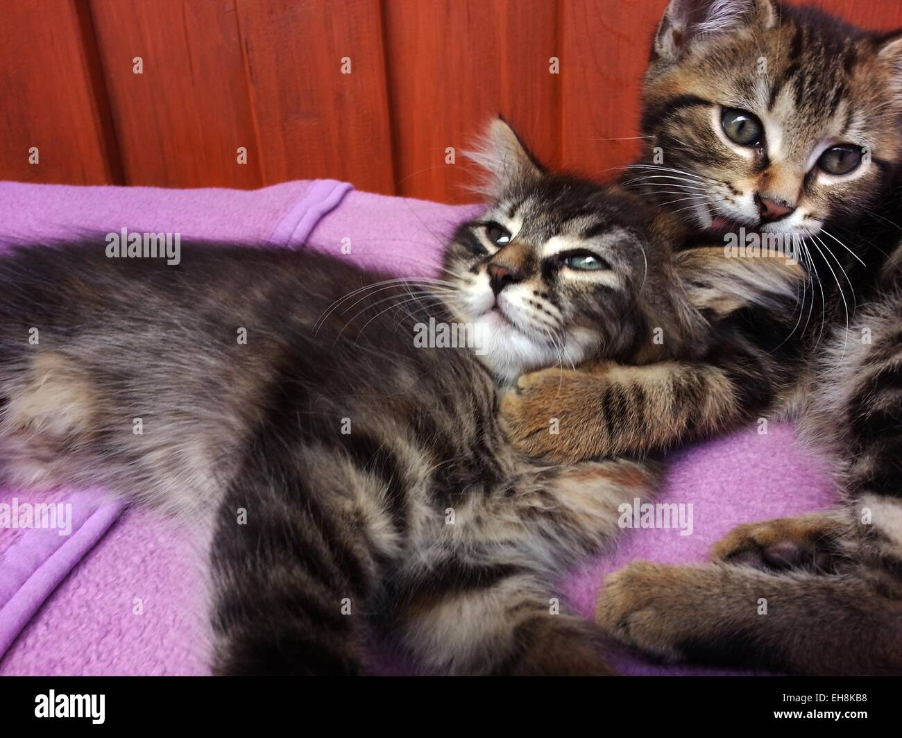 Tabby kittens embracing - Stock Image