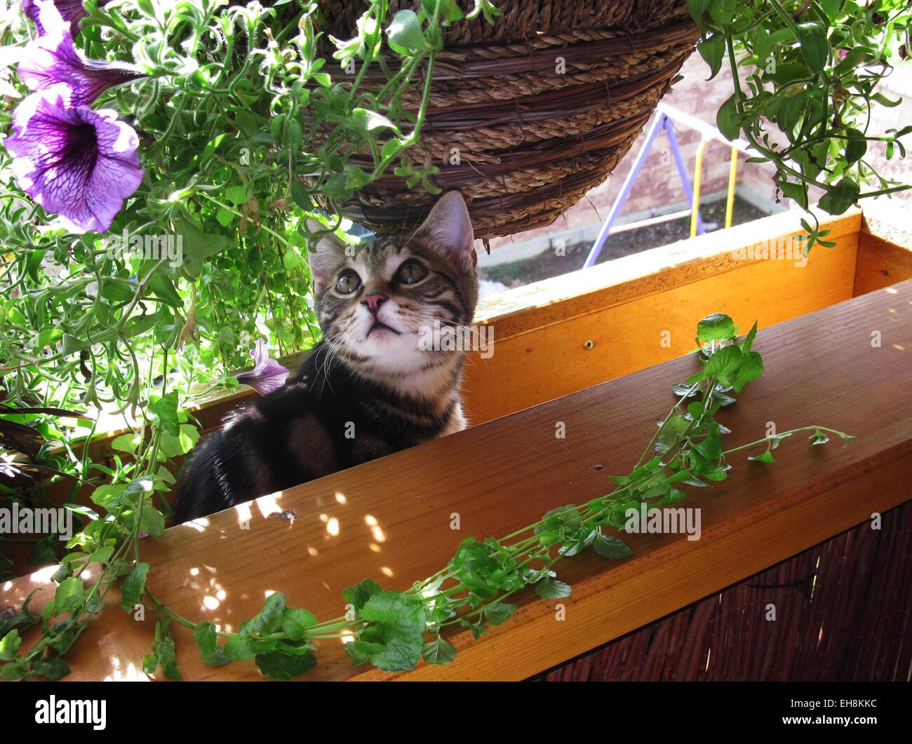 Tabby cat looking up at a hanging basket with purple flowers - Stock Image