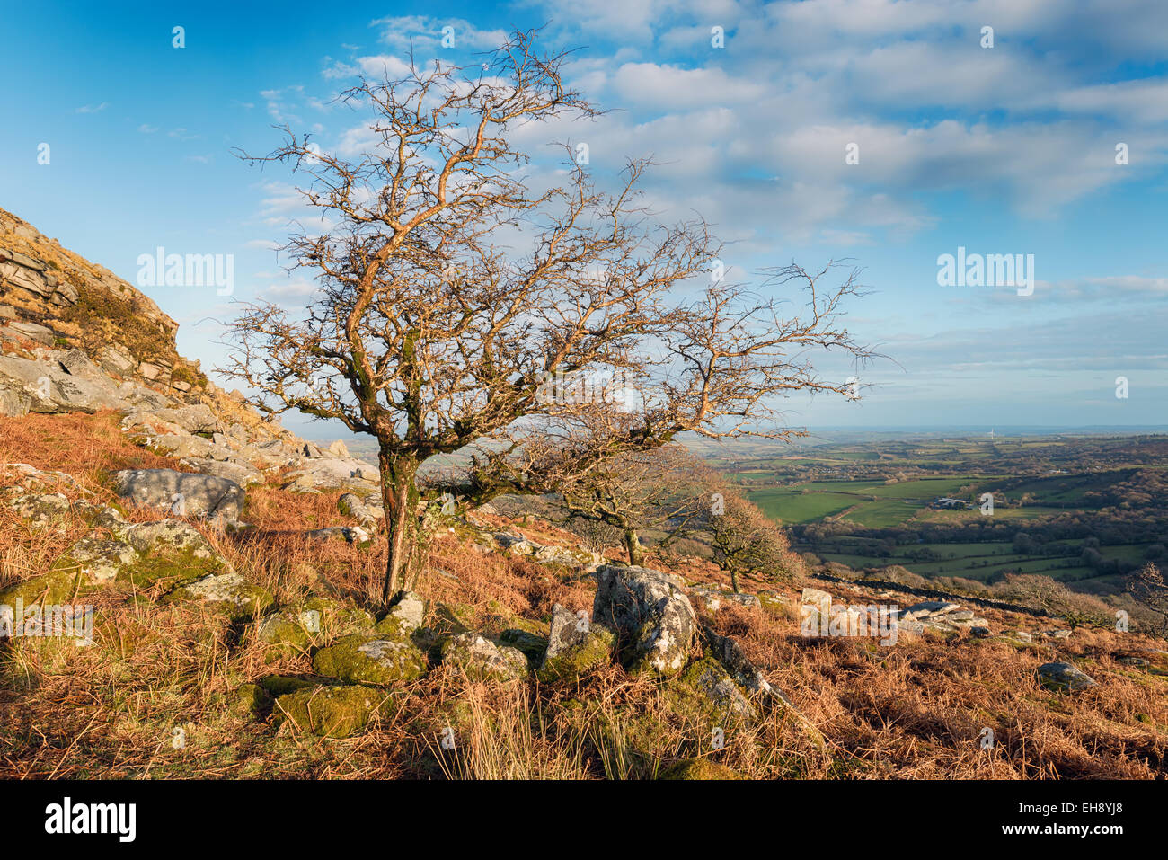 Gnarled windswept trees growing on Sharp Tor near Henwood on Bodmin Moor in Cornwall - Stock Image