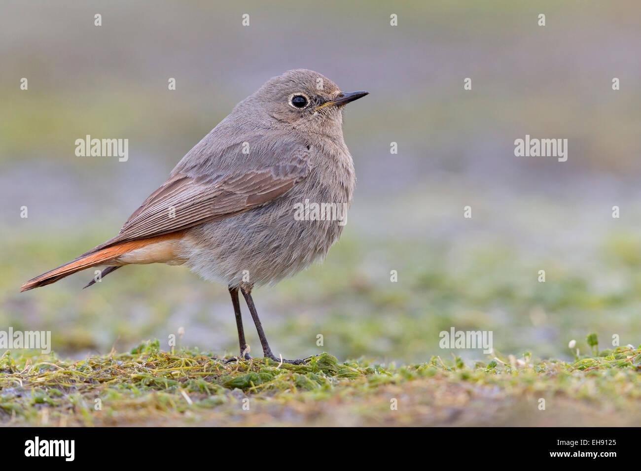 Black Redstart, Campania, Italy (Phoenicurus ochruros) Stock Photo