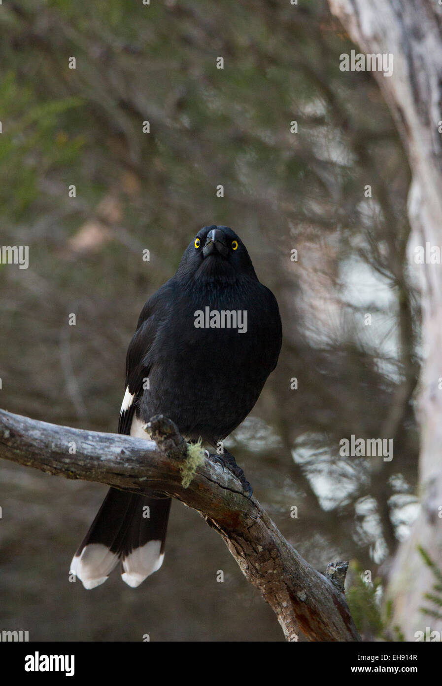Pied Currawong (Strepera graculina) perched in a tree, Australia - Stock Image