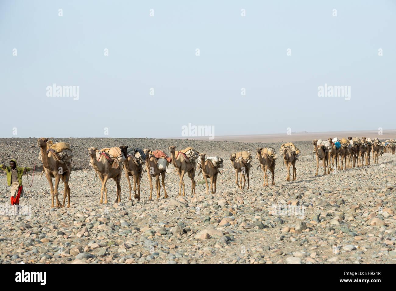 Salt caravan in the Danakil Depression. - Stock Image