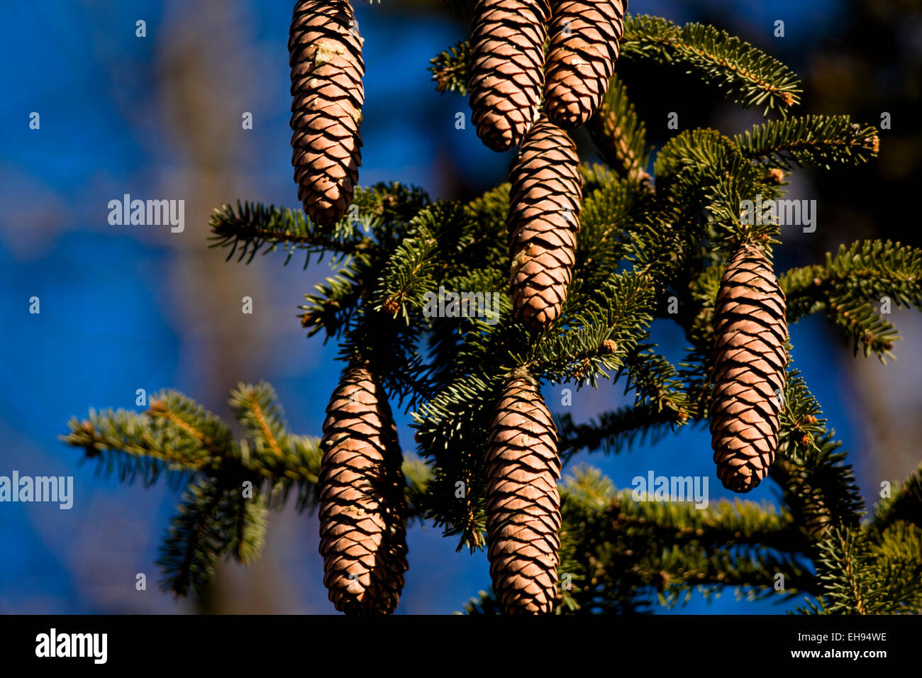 Pine cone seeds hang from an evergreen tree. - Stock Image