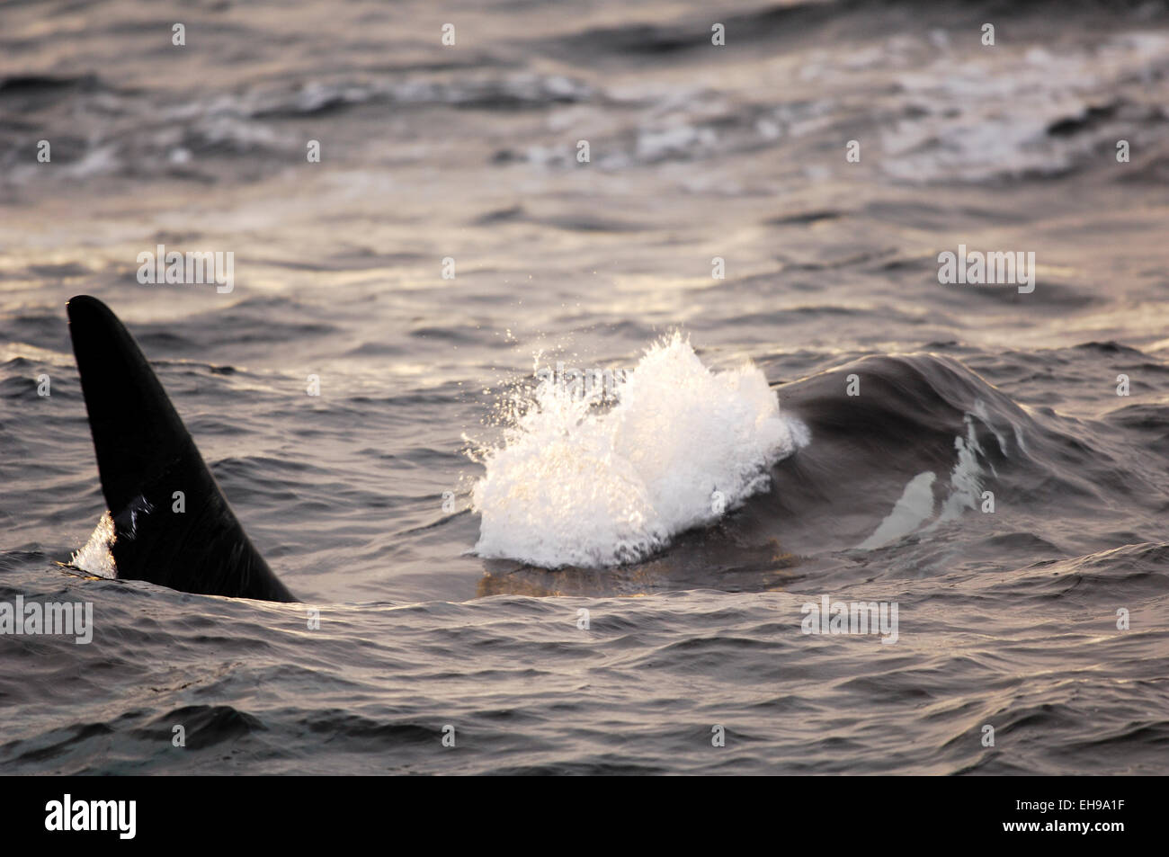 Orca or Killerwhale (Orcinus orca) feeding on herring in the Tysfjord area (Norway). Male Orcas grow up to 7 m, - Stock Image