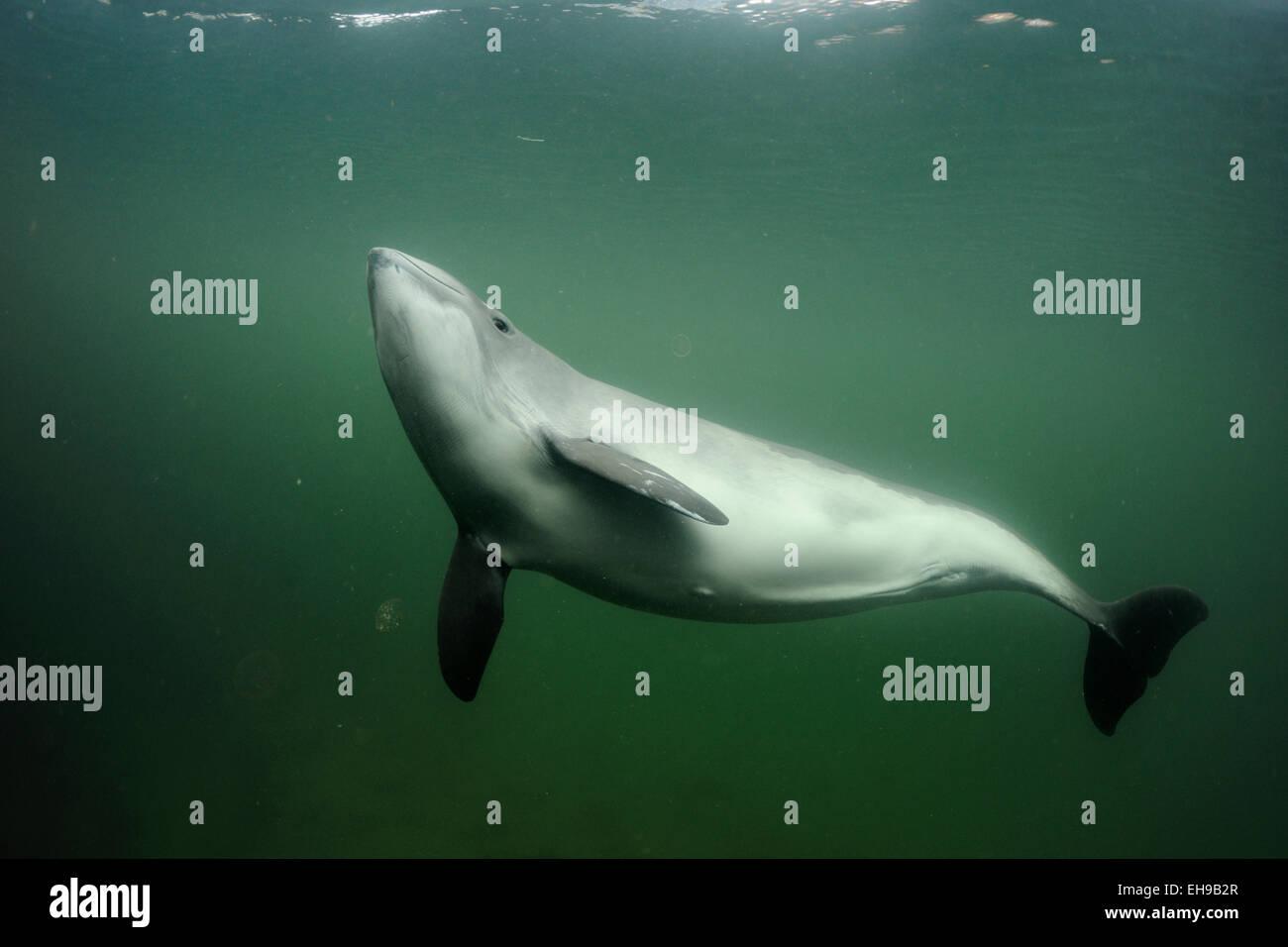 Harbour porpoise (Phocoena Phocoena) Schweinswal Fjord & Baelt - Stock Image