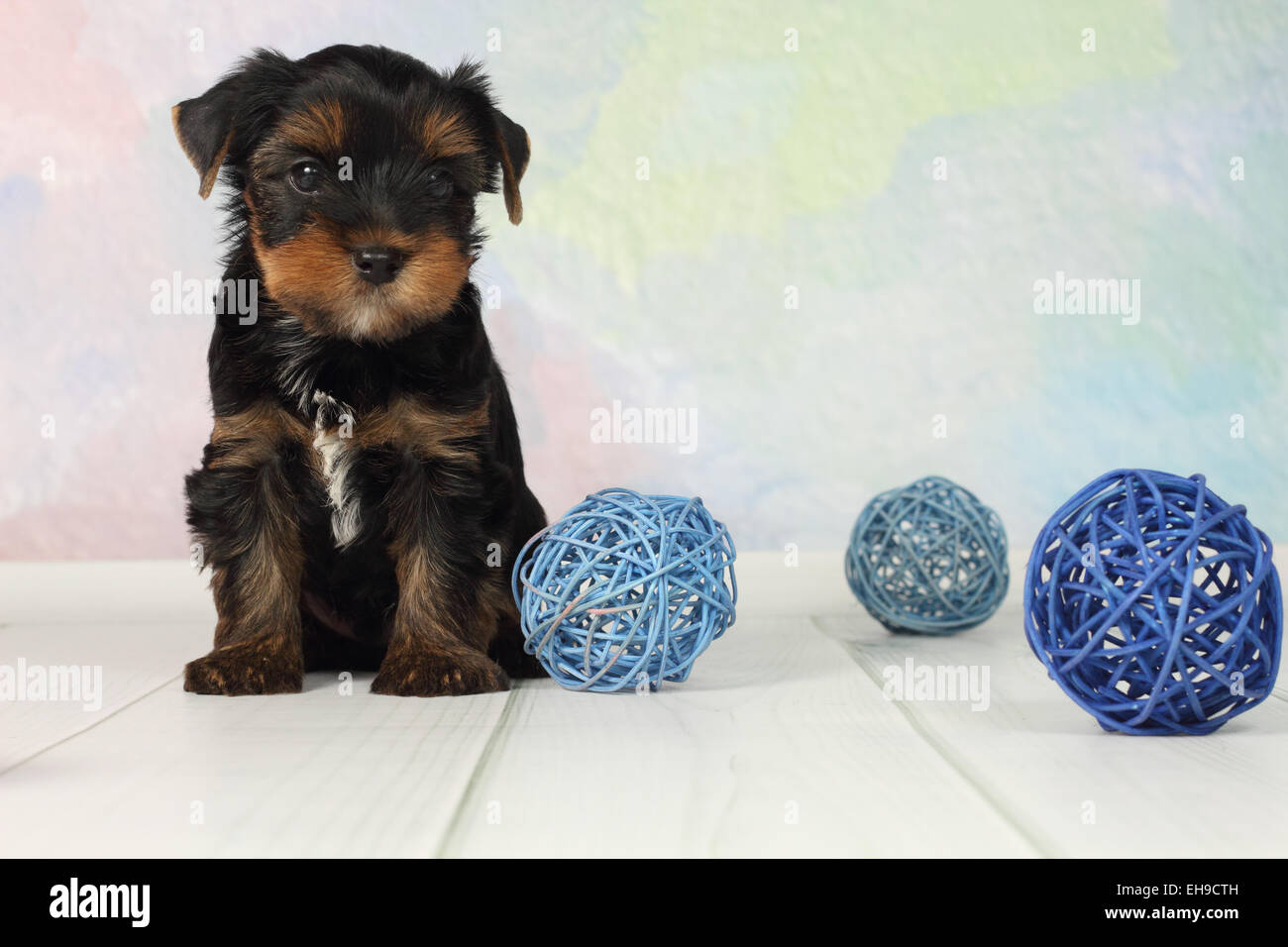 Yorkshire terrier puppy - Stock Image