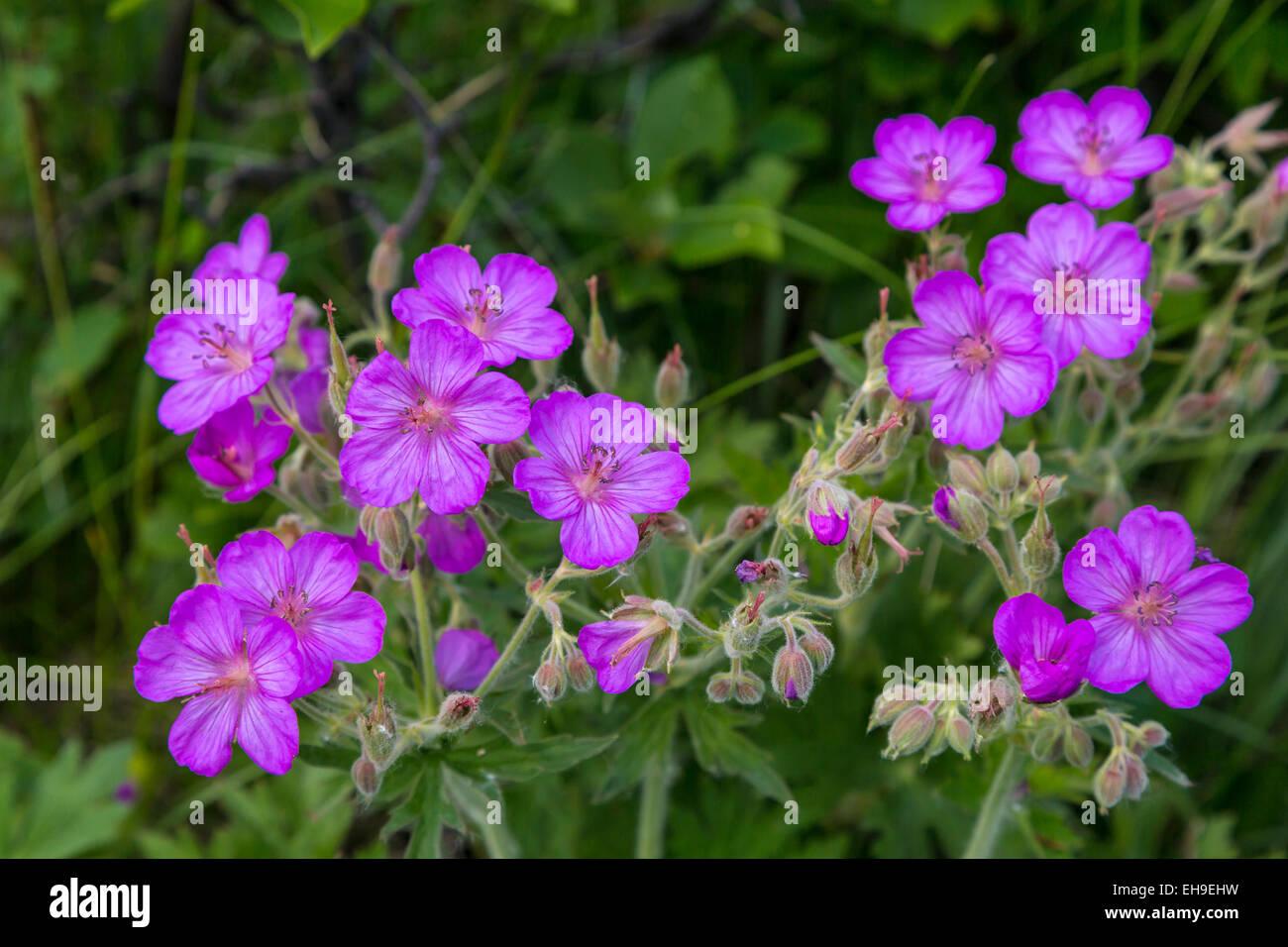 Sticky Geranium wildflowers in Waterton Lakes National Park, Alberta, Canada. - Stock Image