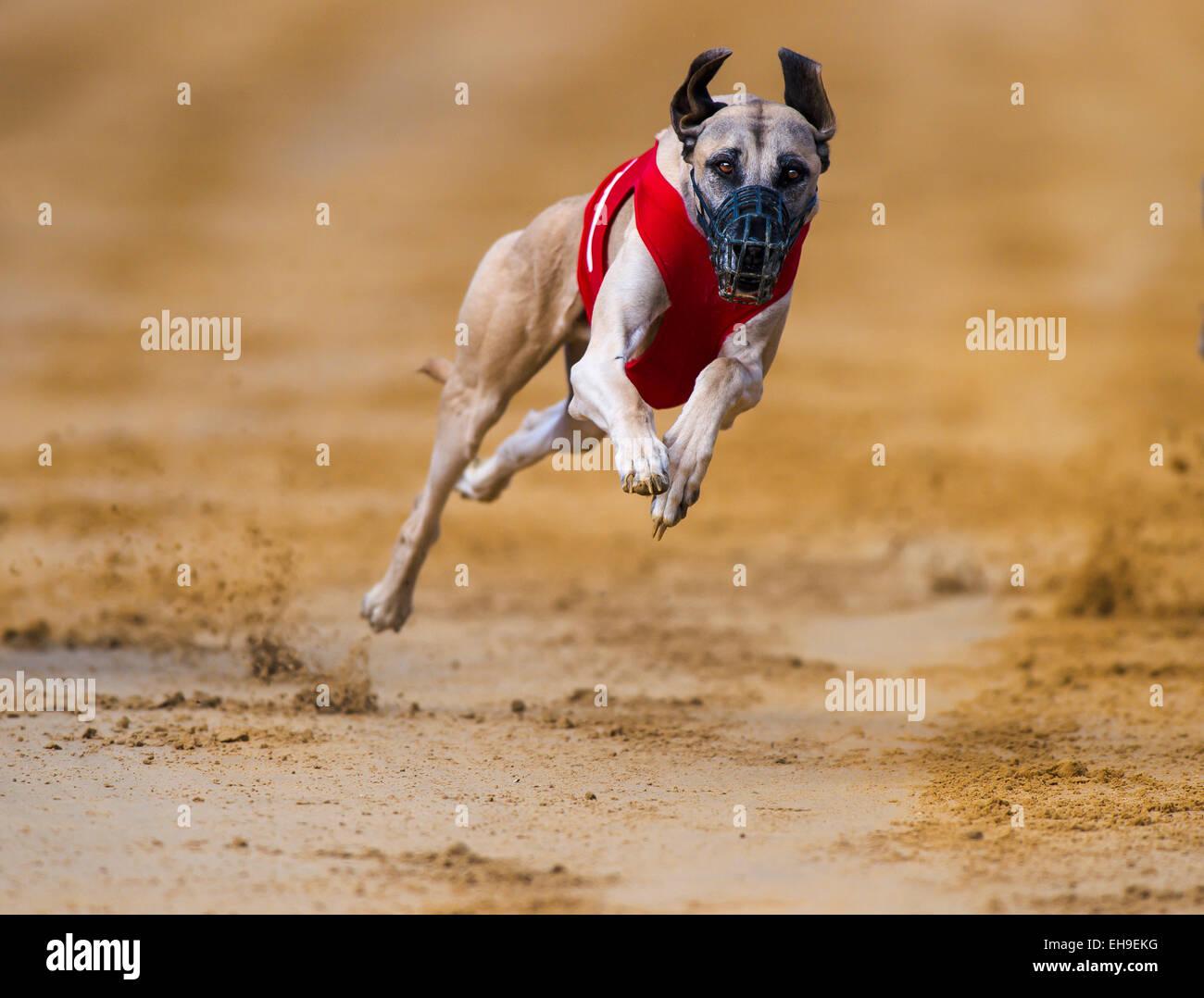 Sighthound on sand track, Stuttgart, Baden-Württemberg, Germany - Stock Image
