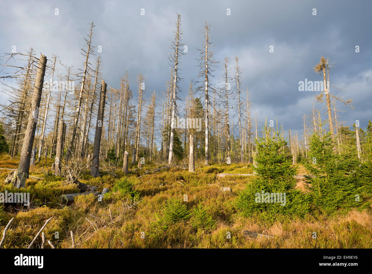 Forest regeneration through natural rejuvenation in the Harz National Park, Lower Saxony, Germany - Stock Image