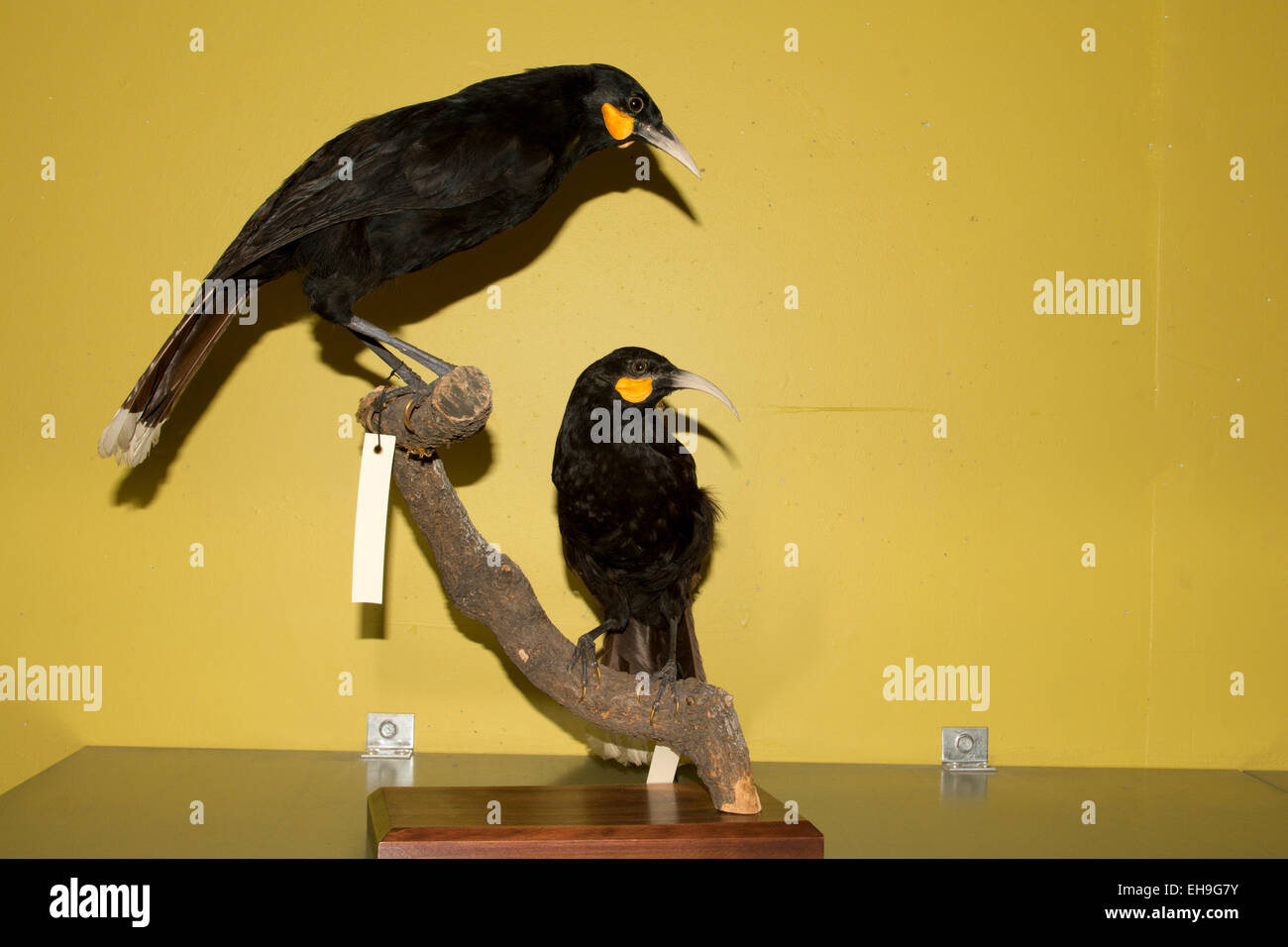 These huias at Te Papa National Museum in Wellington in New Zealand have been the largest of New Zealand's waddle - Stock Image