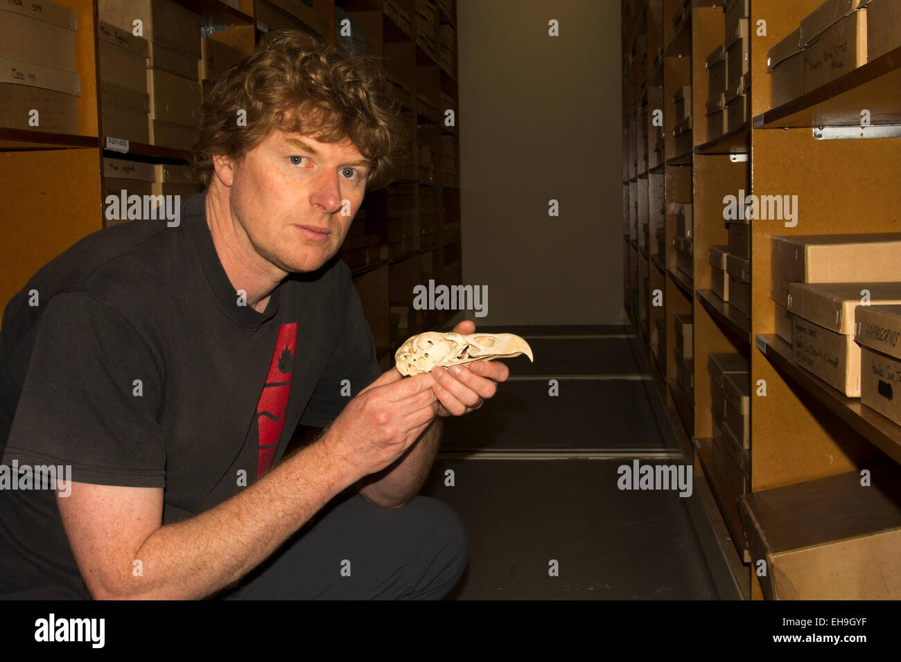 Curator Alan Tennyson shows at Te Papa National Museum in Wellington in New Zealandthe skull of a giant Haast's - Stock Image