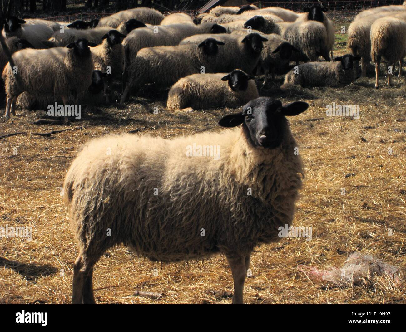 Rhoen sheep with black head, Germany - Stock Image