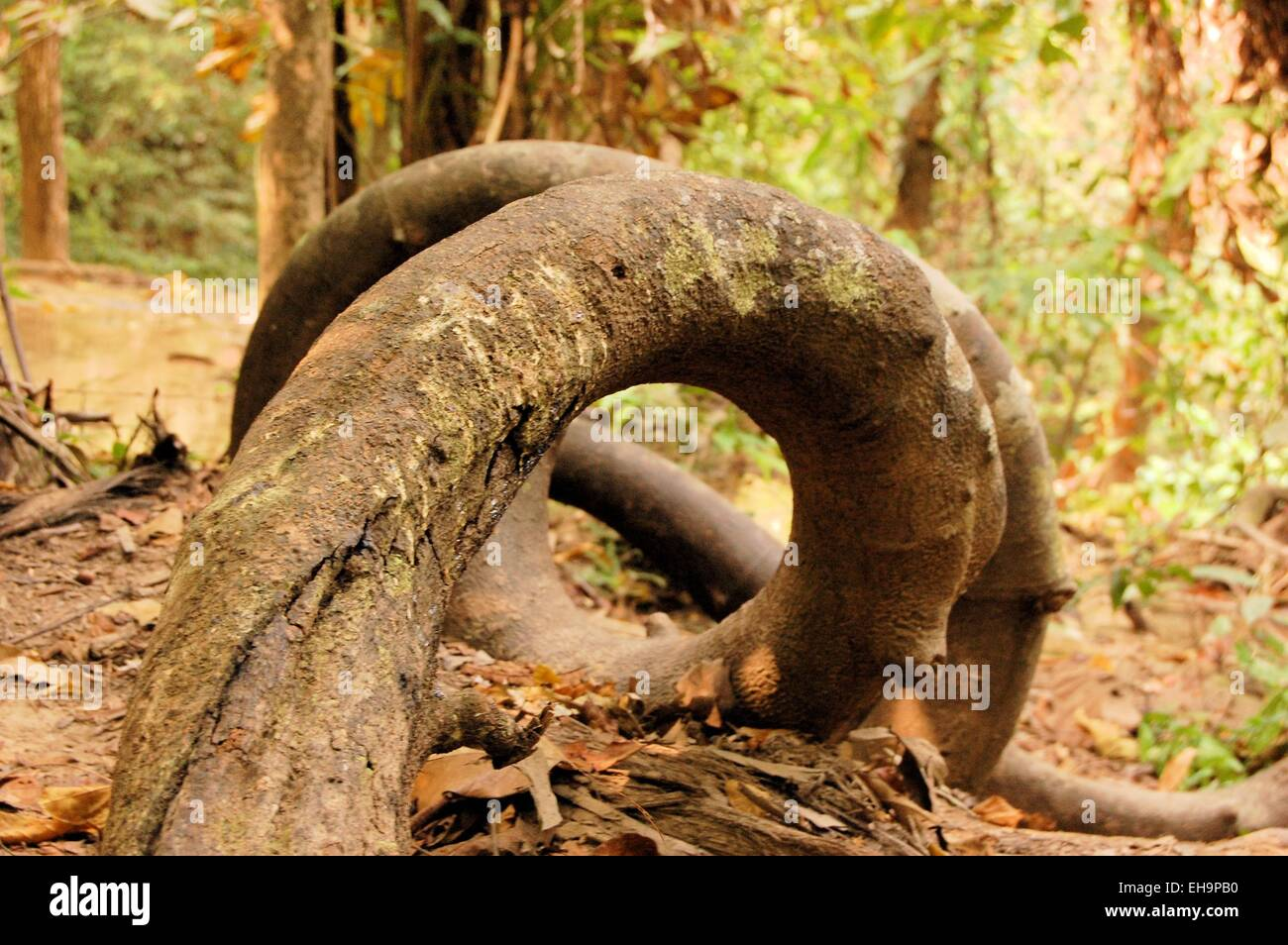 Twisted round tropical tree roots in rain forest - Stock Image