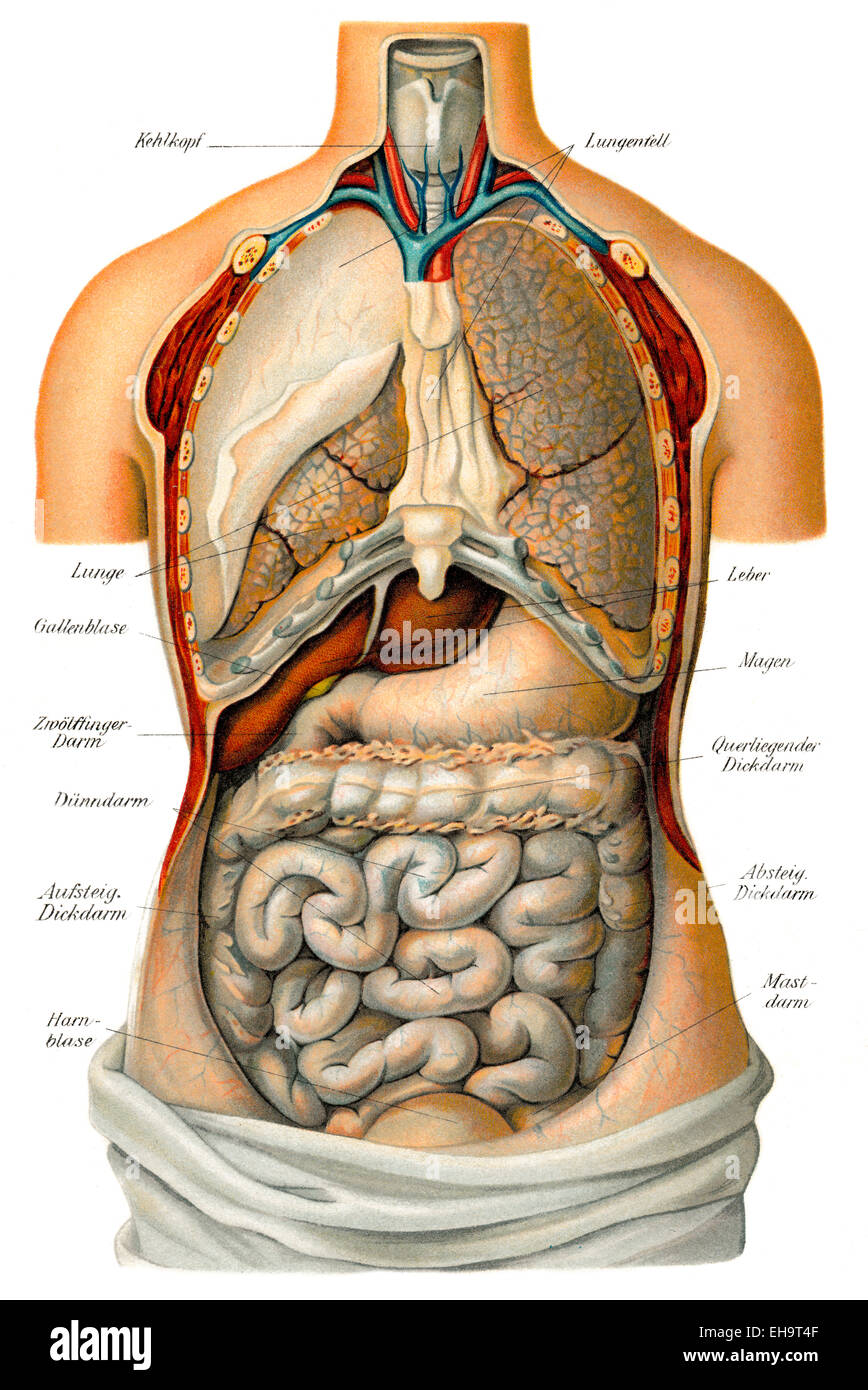 Thoracic and abdominal organs, health counselor, 19th century, - Stock Image