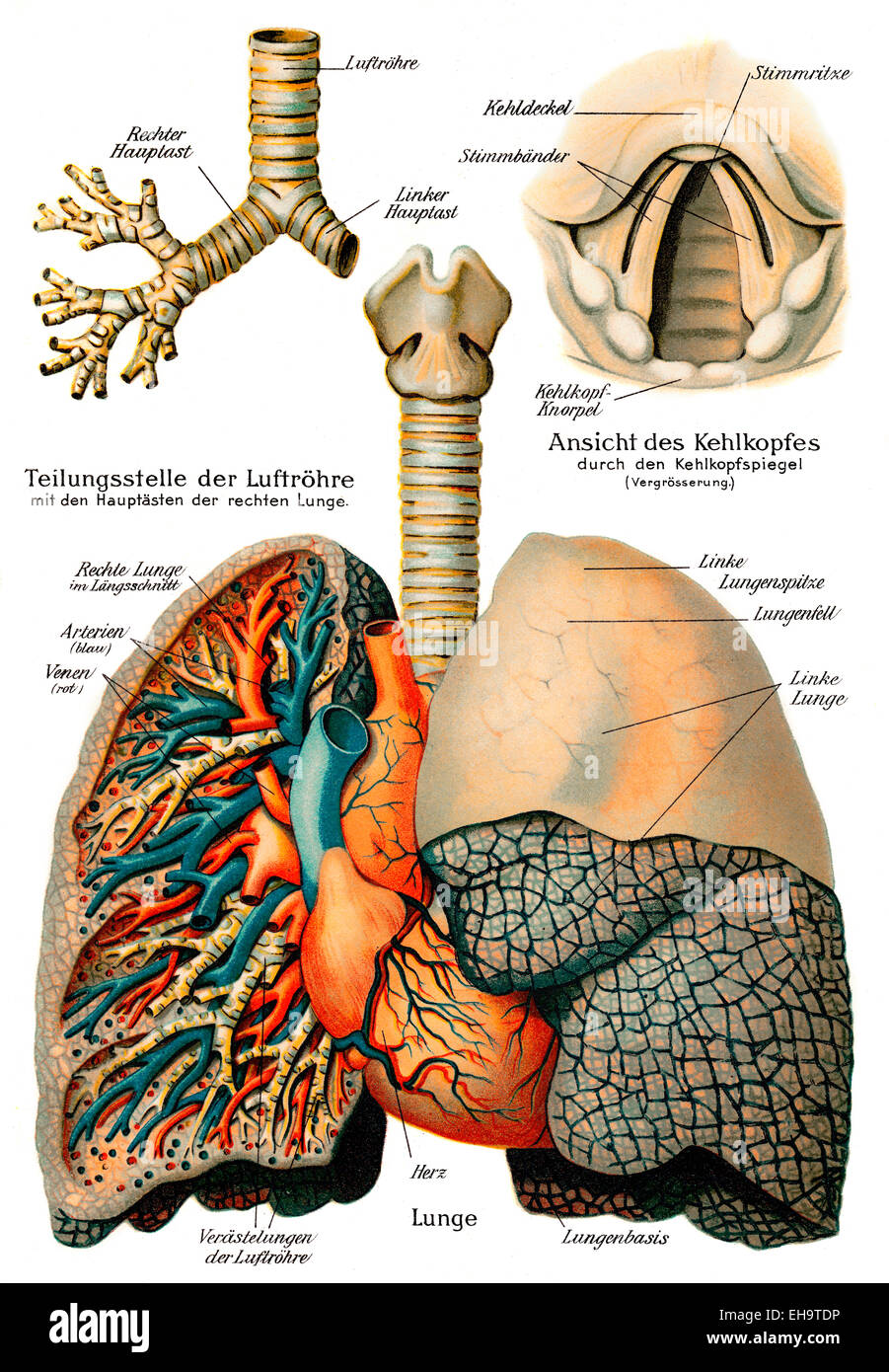 Respiratory system, 19th century, health counselor, - Stock Image