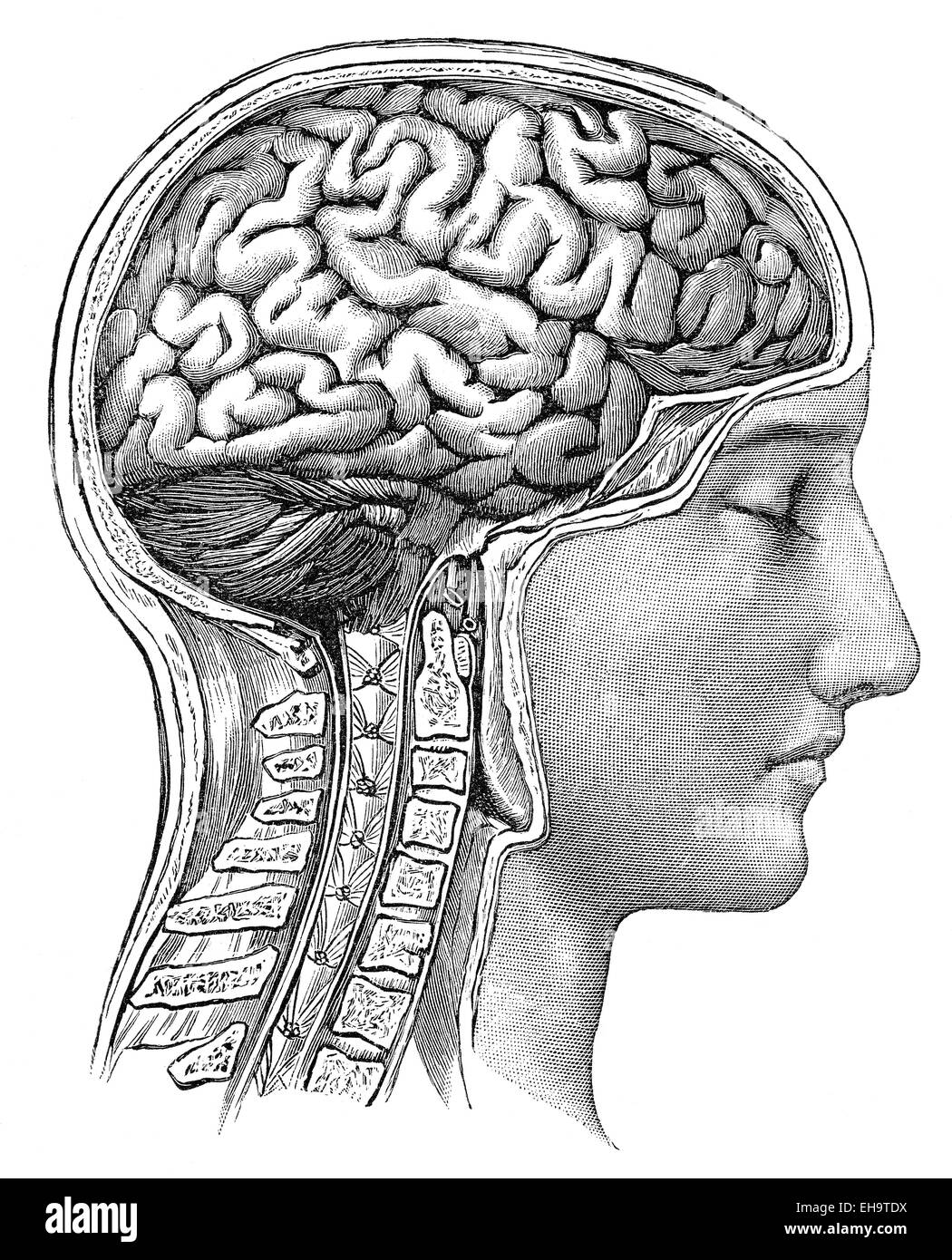 The human brain,  health counselor, 19th Century, - Stock Image
