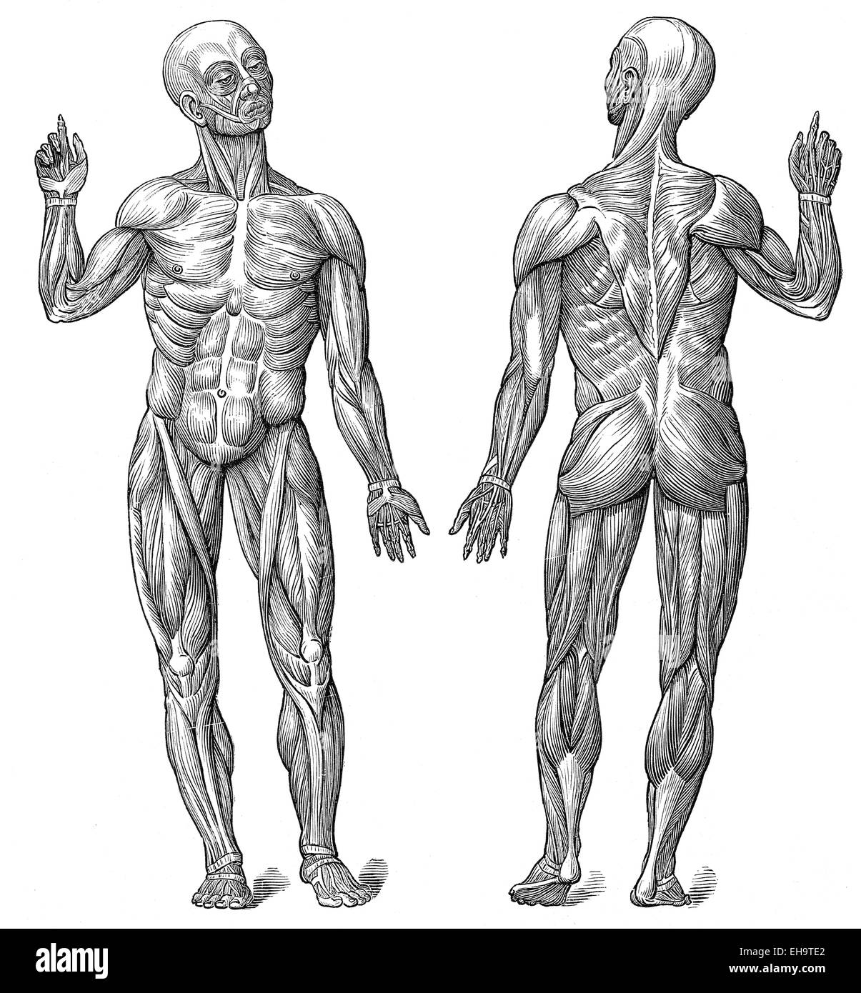 Anatomical Drawings Muscles Stock Photos Anatomical Drawings