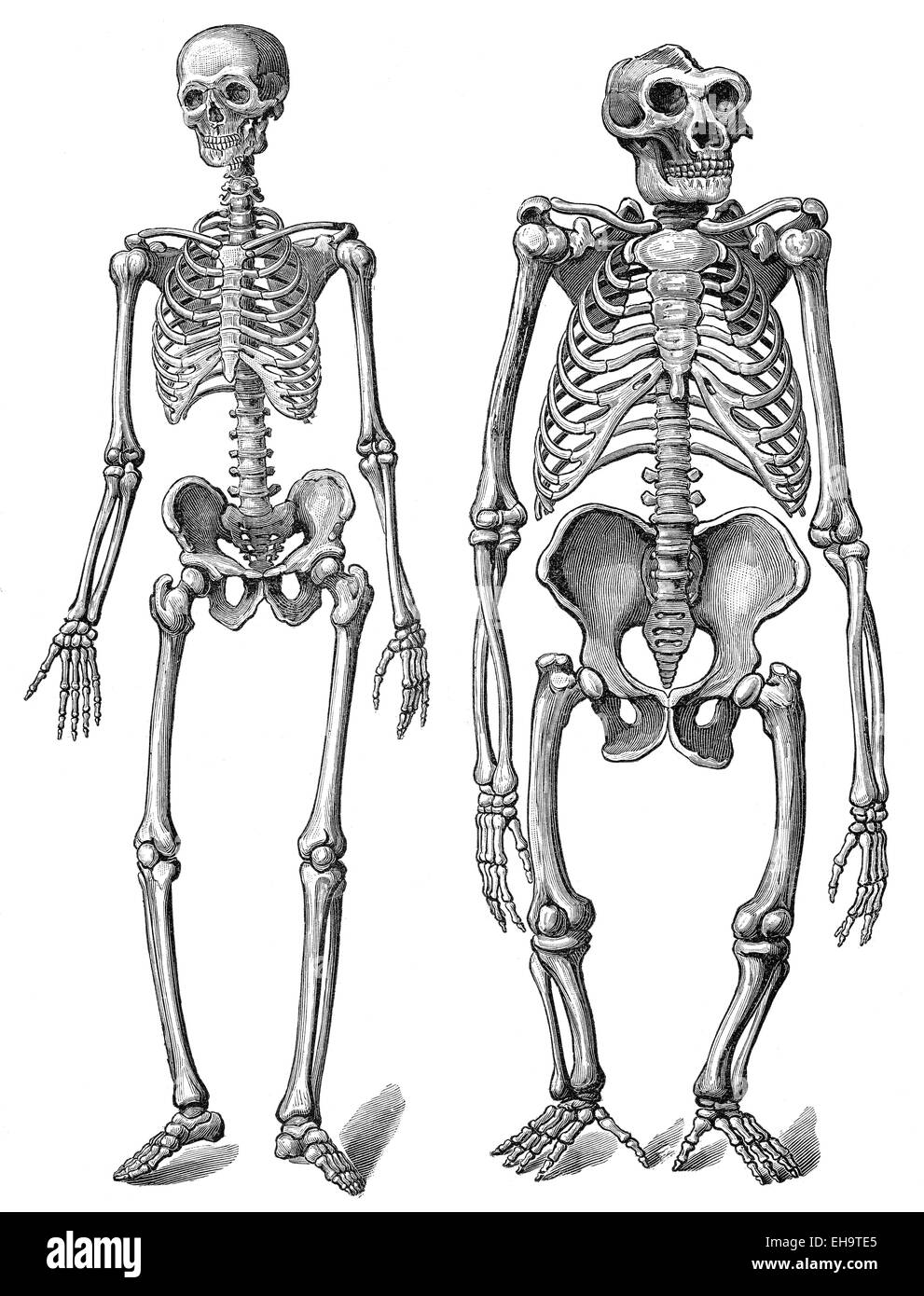 The Human Skeleton As Compared To A Gorilla Skeleton Anatomy Stock