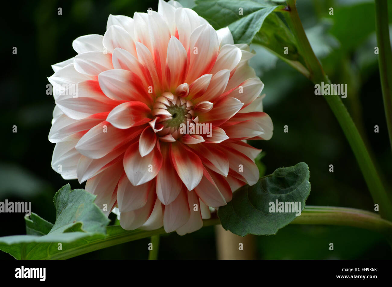 India dahlia flower stock photos india dahlia flower stock images close up of red and white dahlia flower in botanical garden at ootytamilnadu izmirmasajfo
