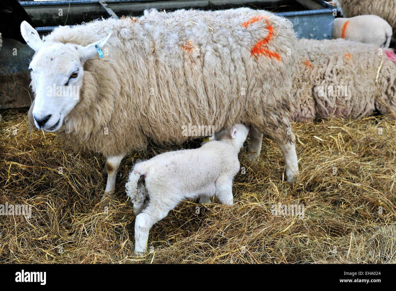 New born lamb suckling from mother - Stock Image