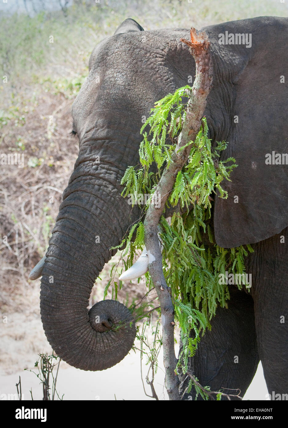 Close up of African elephant with limb of tree it broke off to eat greenery - Stock Image