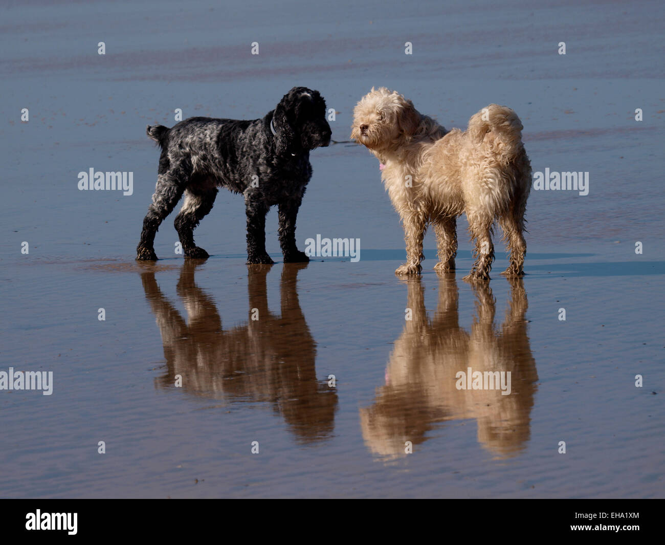 Two small dogs on the beach reflected in the wet sand, UK - Stock Image