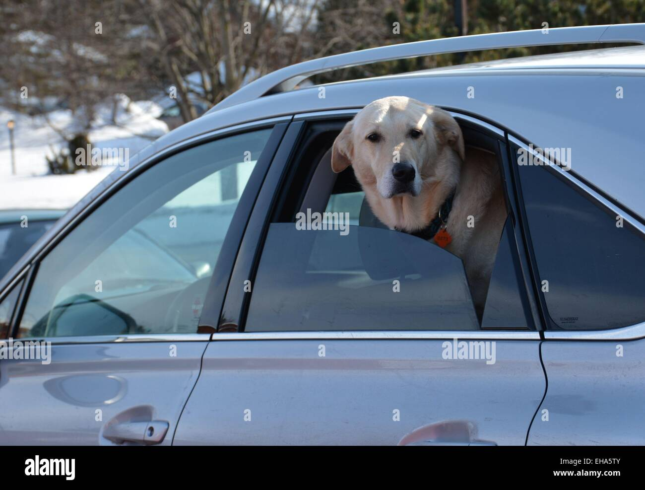Curious dog pokes head out of a car window - Stock Image