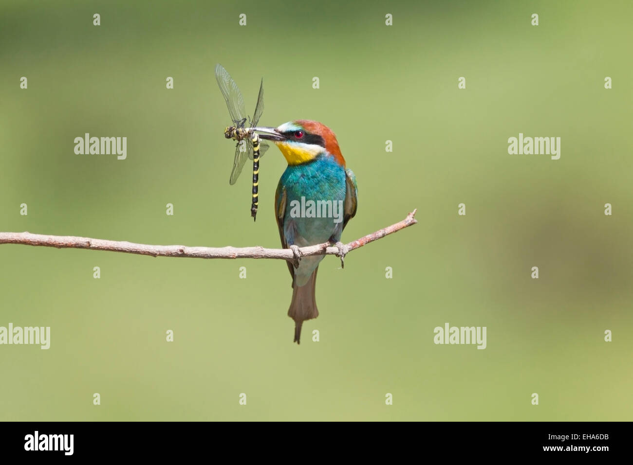 European Bee Eater (Merops apiaster) single adult perched on twig with dragonfly prey in its beak Stock Photo