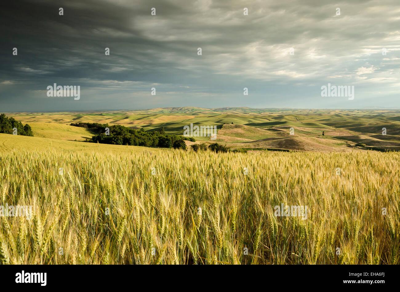 Wheat field, Steptoe Butte, Palouse Region, Washington, USA - Stock Image