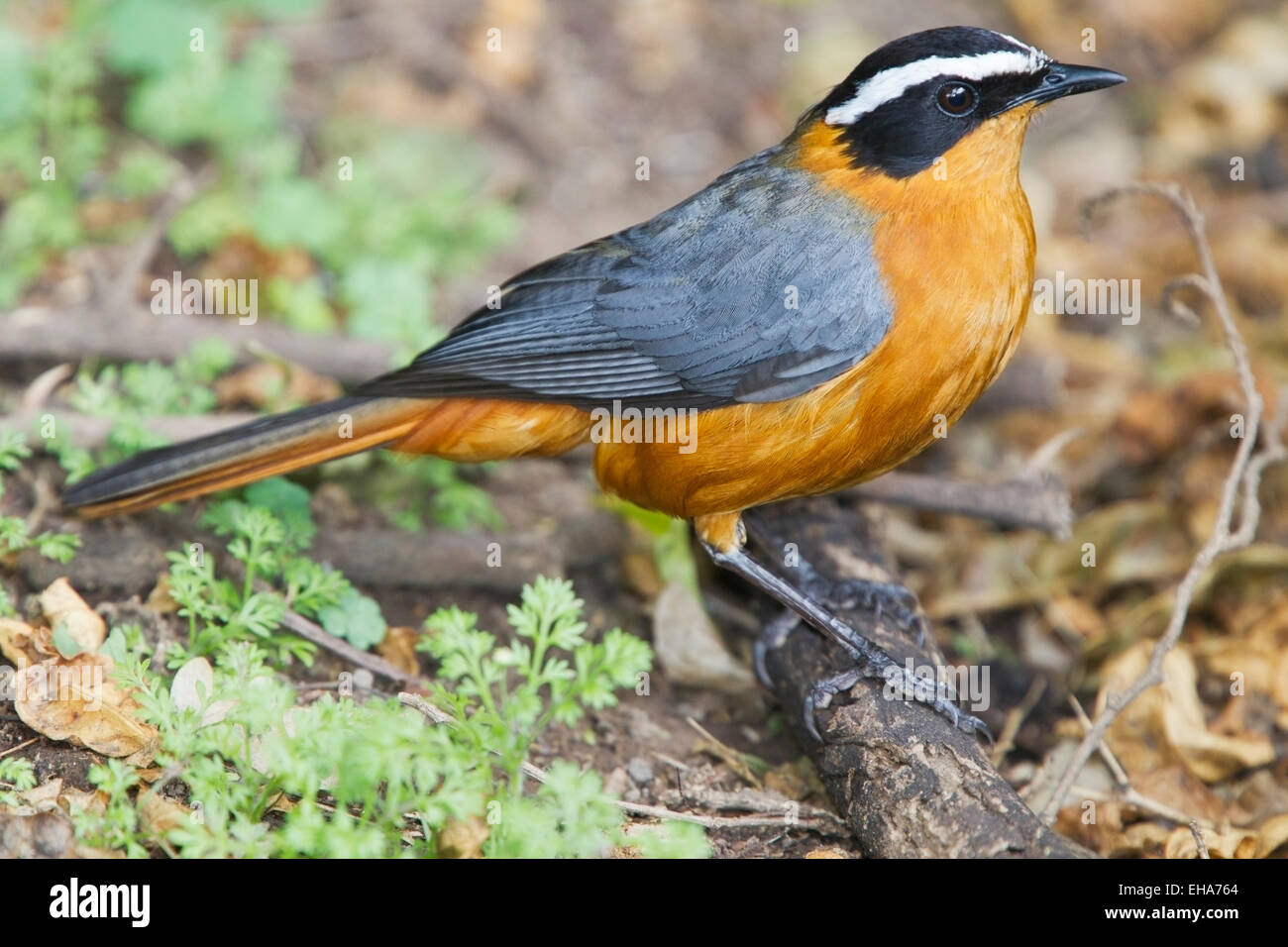White-browed Robin Chat (Cossypha heuglini) adult perched on branch, Kenya, Africa - Stock Image