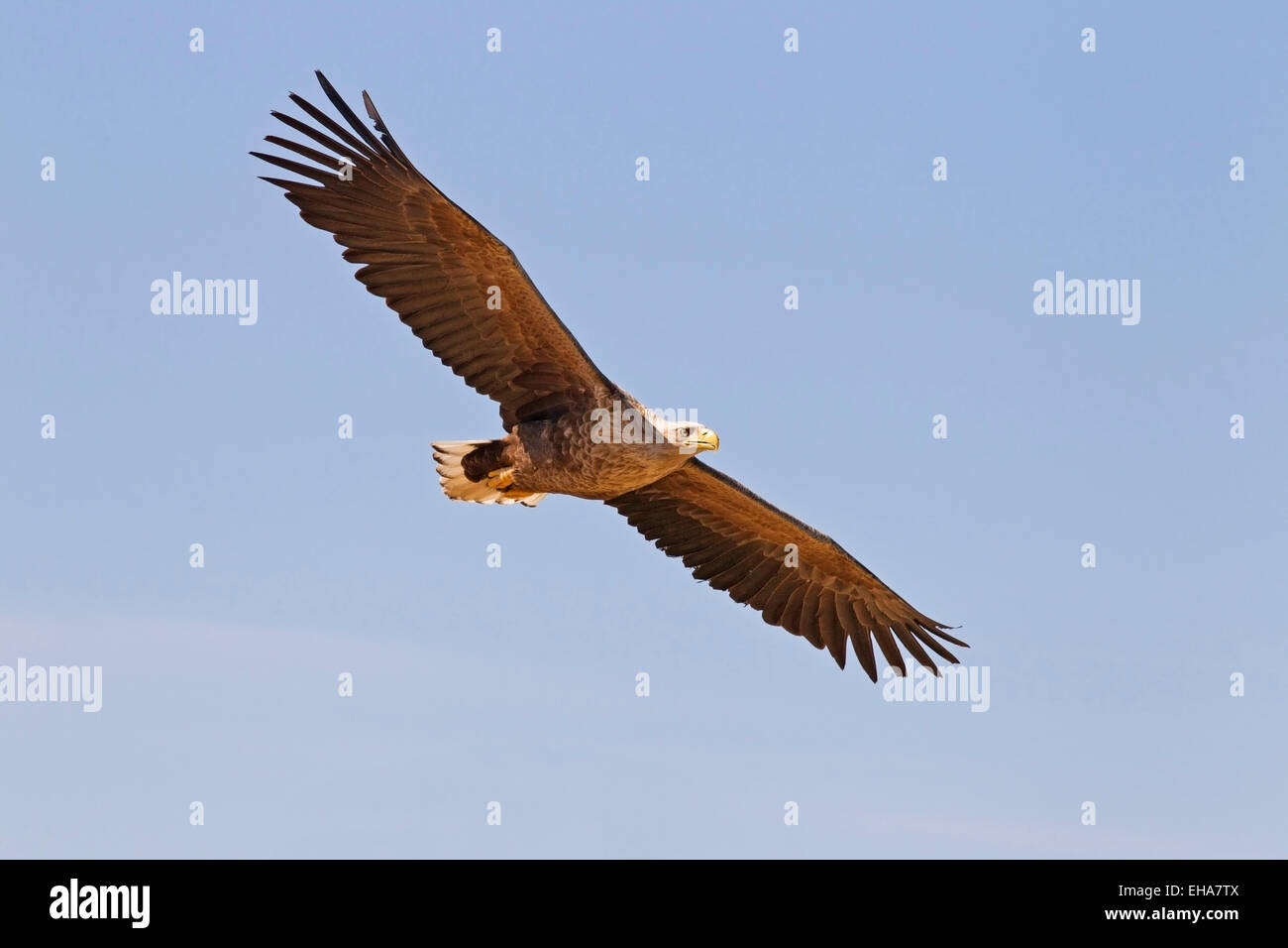 White-tailed Eagle (Haliaeetus albicilla), single adult in flight against blue sky Stock Photo