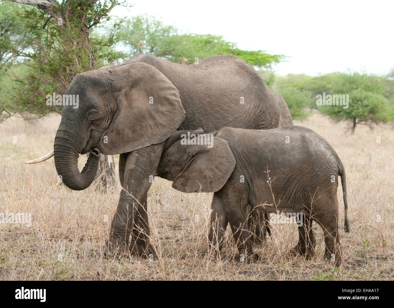 African elephant with young nursing - Stock Image
