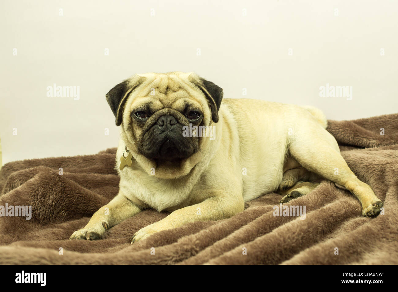A pug dog on a brown throw - Stock Image