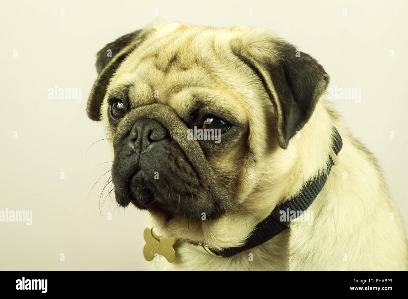 A close up photograph of a Pug dog - Stock Image