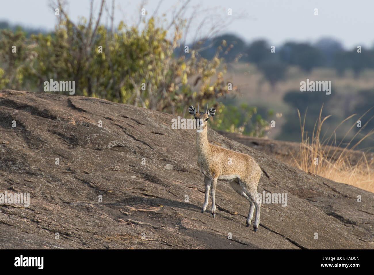 Serengeti NP, Steenbok - Stock Image