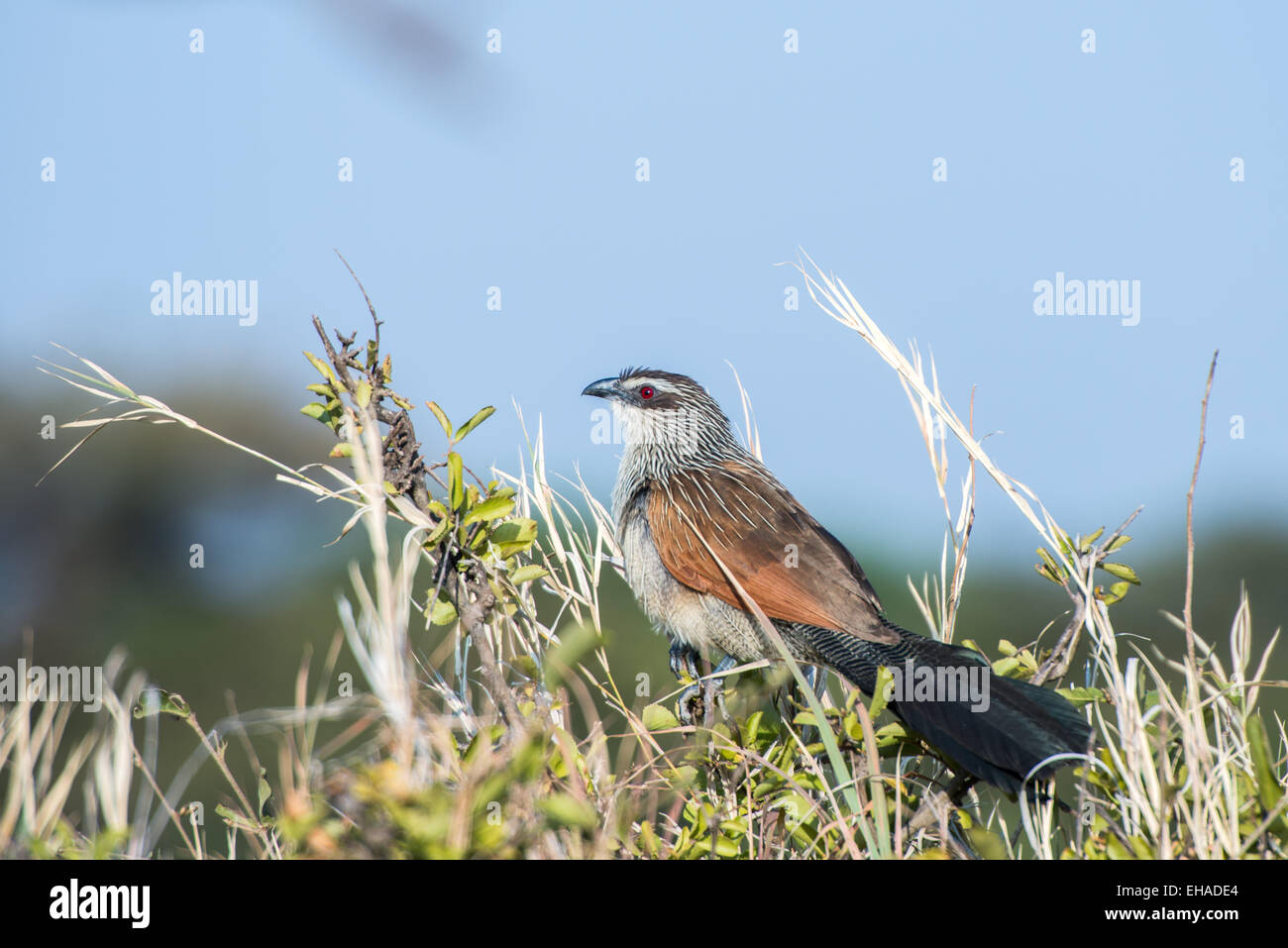 Serengeti NP, White-Browed Coucal - Stock Image