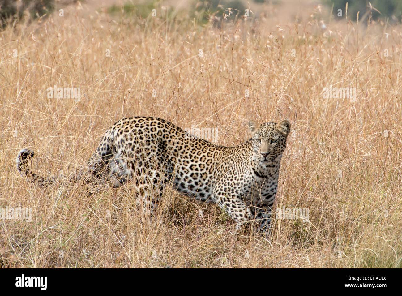 Serengeti NP, Leopard - Stock Image