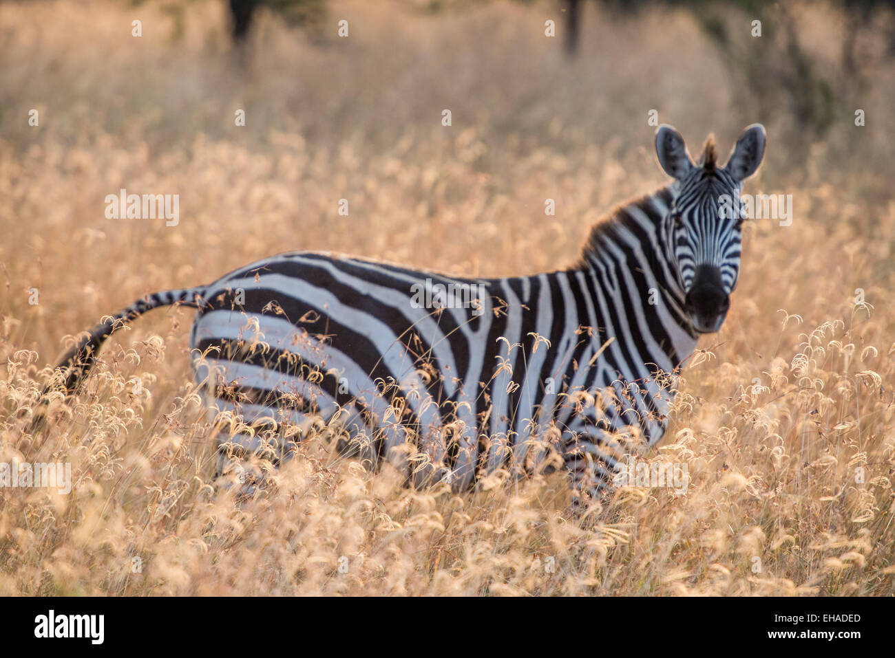 Serengeti NP, Zebra - Stock Image