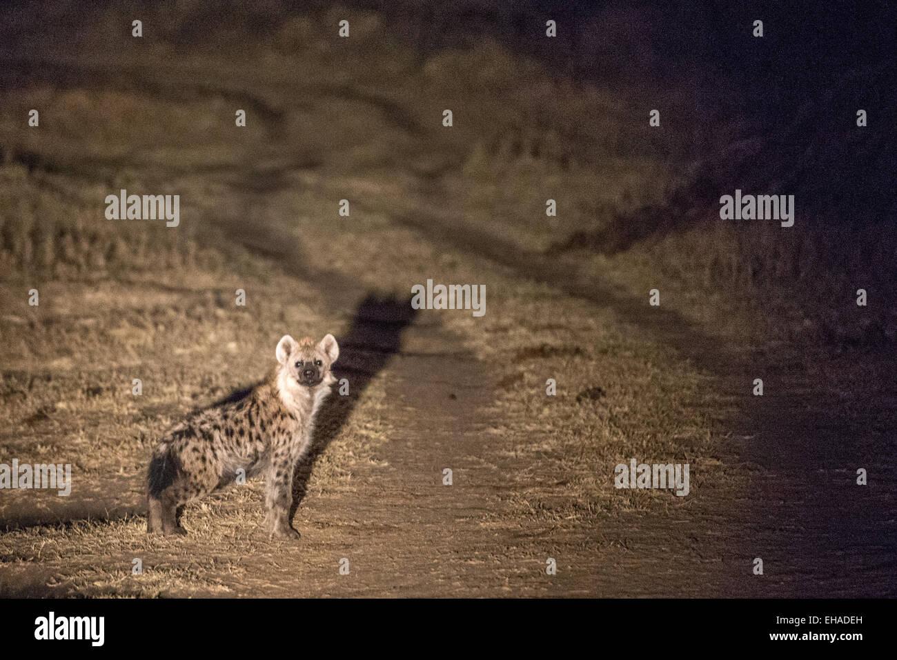 Serengeti NP, Hyena - Stock Image