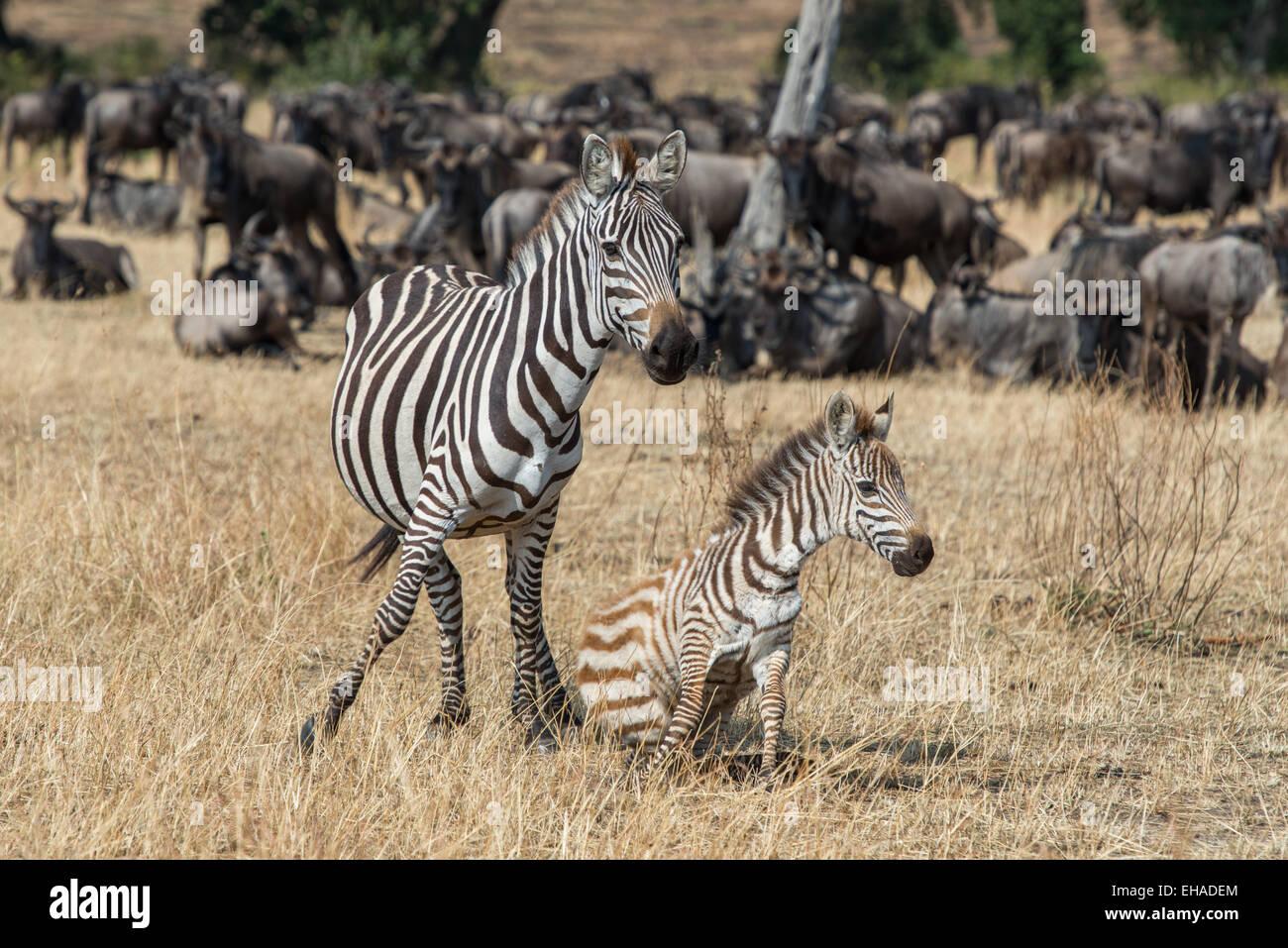 Serengeti NP, Zebras - Stock Image
