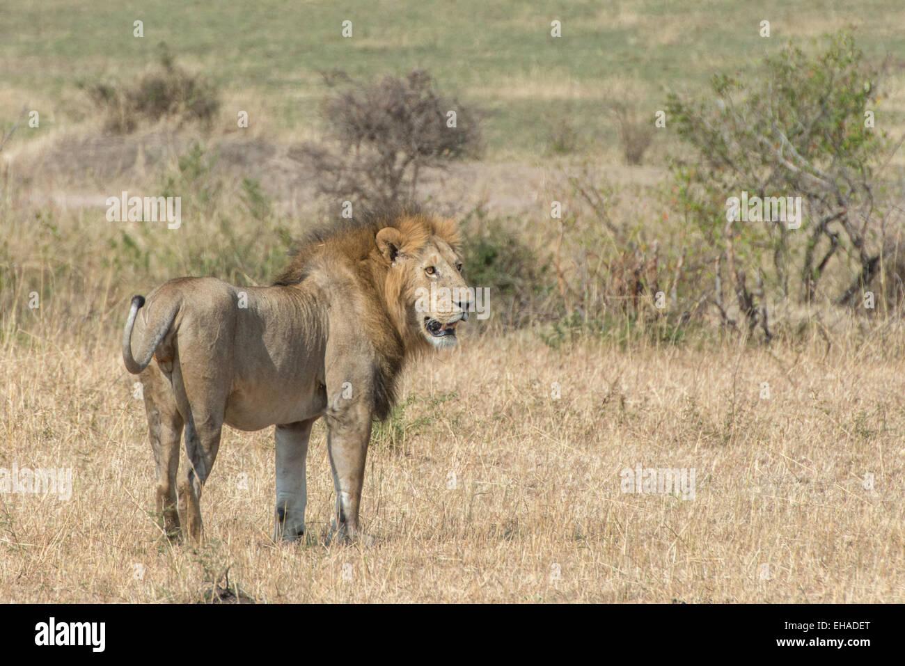 Serengeti NP, Lion - Stock Image