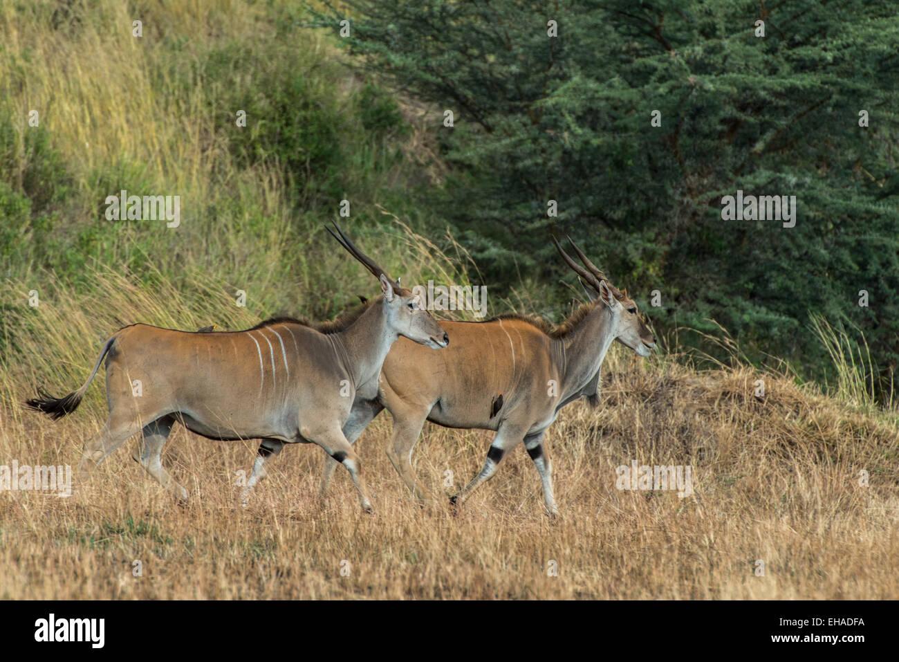 Serengeti NP, Eland - Stock Image